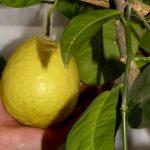 Чечерянка дома выращивает лимоны, некоторые весят почти килограмм